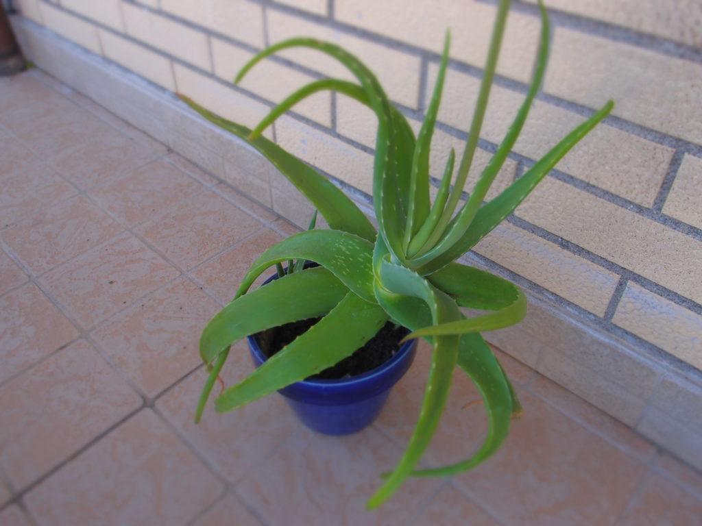 Aloe vera - Dopobarba
