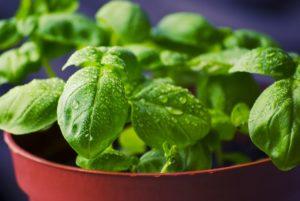 Antiparassitari naturali: basilico