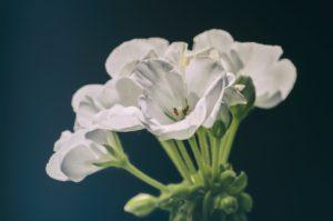 Antiparassitari naturali: geranio bianco