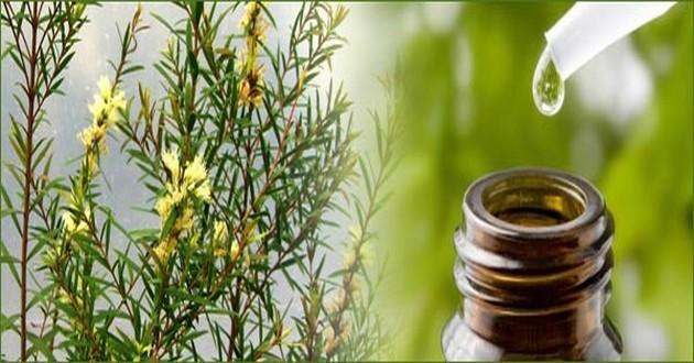 Olio essenziale Tea Tree