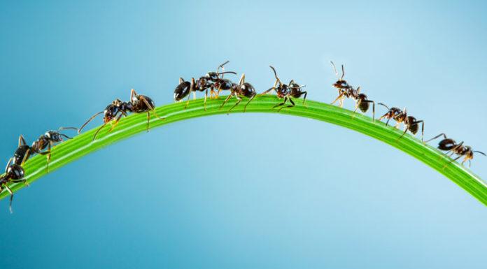 rimedio formiche fatto in casa