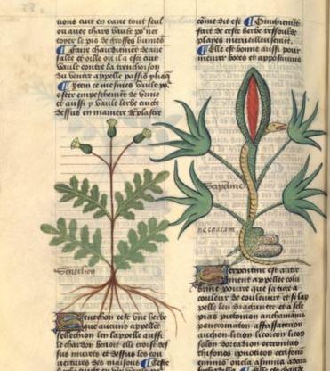 Cardo - Caterina Sforza