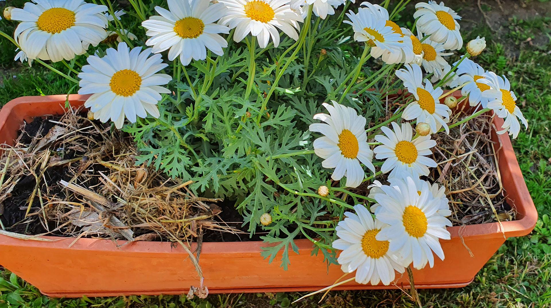 Come Seccare Le Piante 7 buoni motivi per fare la pacciamatura a piante e fiori